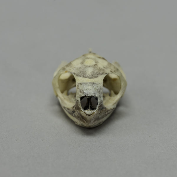 Real Mexican Spotted Wood Turtle Skull & Shell
