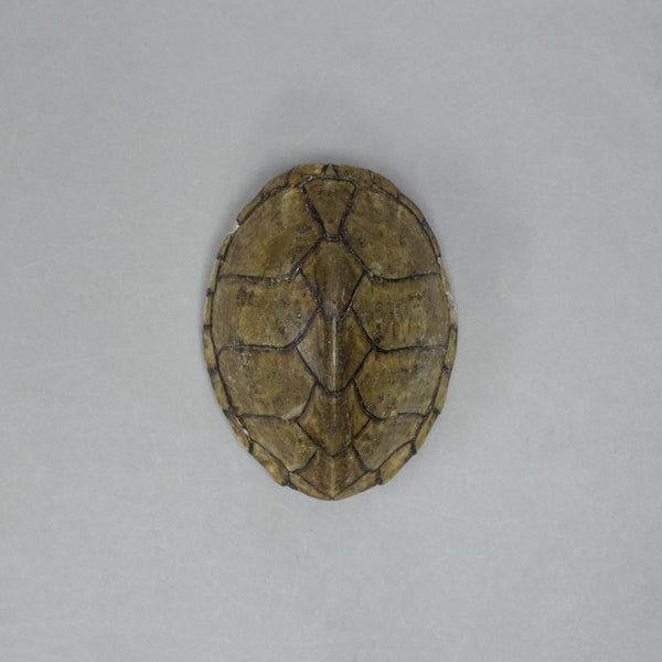 Real Razorback Musk Turtle Shell