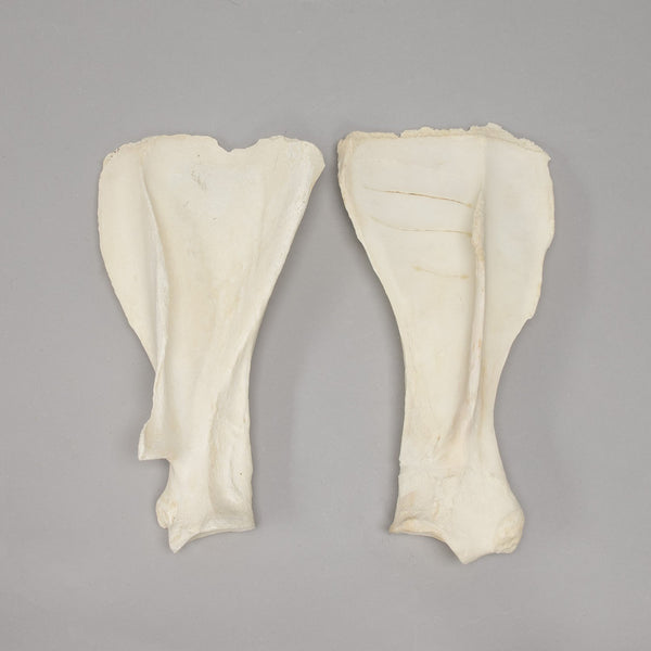 Real Horse and Cow Scapula Set