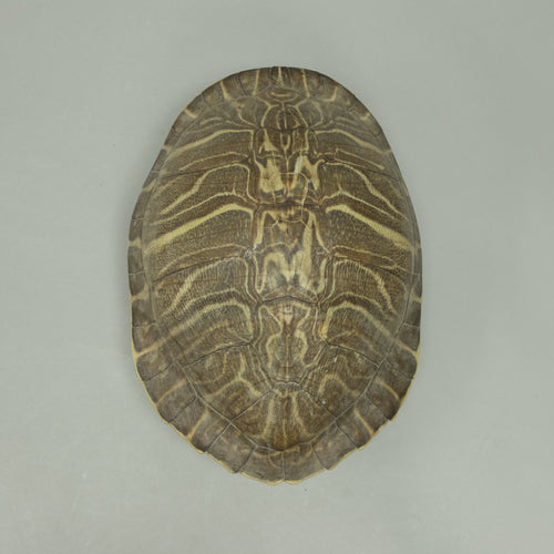 Real Peninsula Cooter Shell