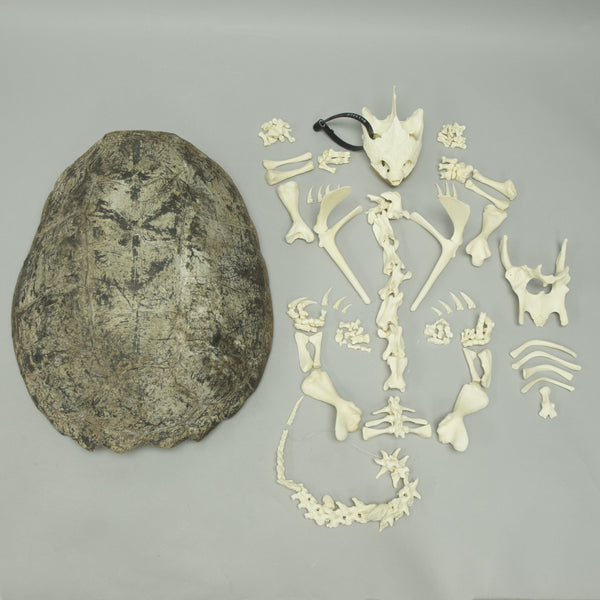 Real Snapping Turtle Skeleton