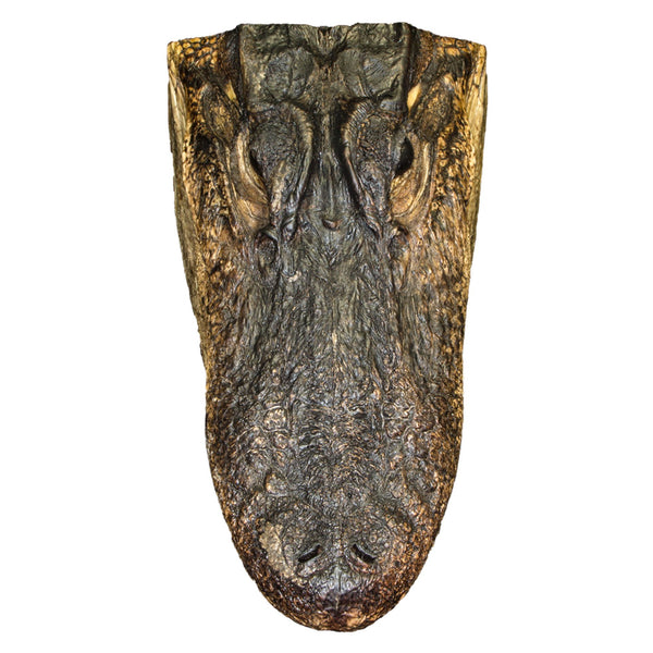 Freeze-Dried Alligator Head (Large)
