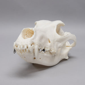 Real Domestic Dog Skull (Dental Work)
