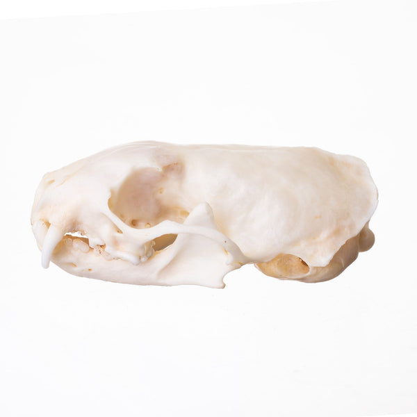 Real Long-tailed Weasel Skull