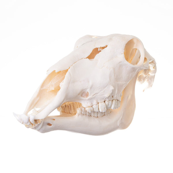 Real Waterbuck Skull
