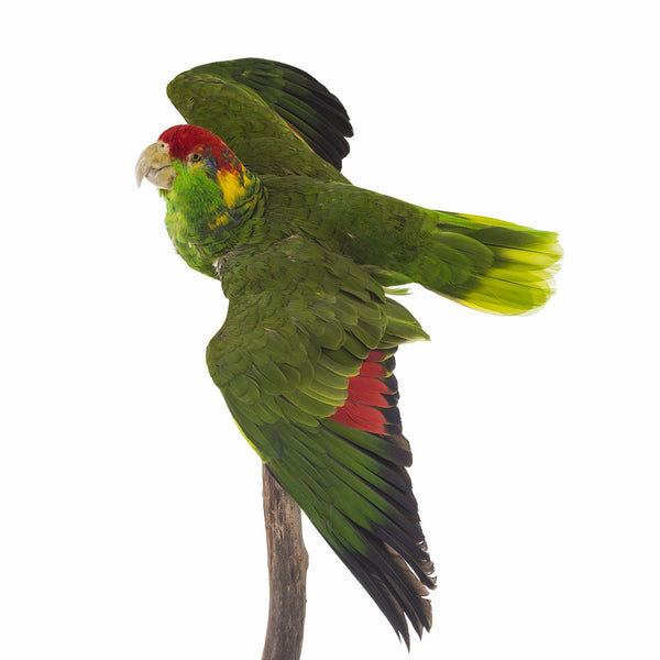 Real Red-headed Mexican Parrot - (Taxidermy)