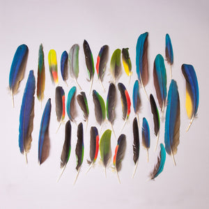 Real Macaw Feathers Assortment (Large)