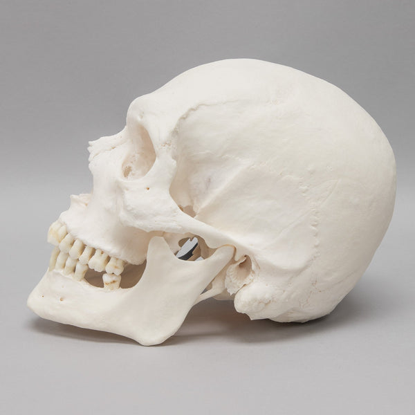 Real Research Quality Human Skull