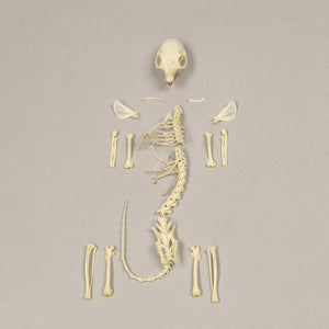 Real Douglass Squirrel Skeleton - (Incomplete)
