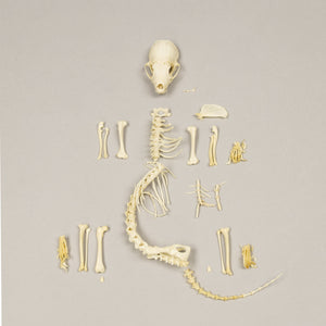 Real Western Spotted Skunk Skeleton