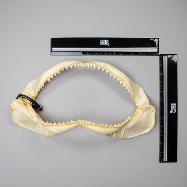 Real Copper Shark Jaw