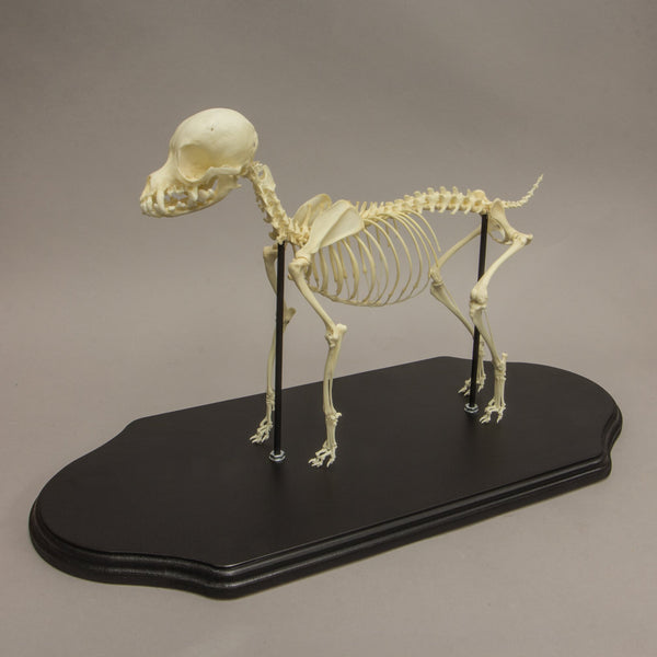 Real Domestic Dog Chihuahua Skeleton