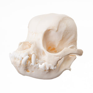 Real Domestic Dog Skull (Shih Tzu)