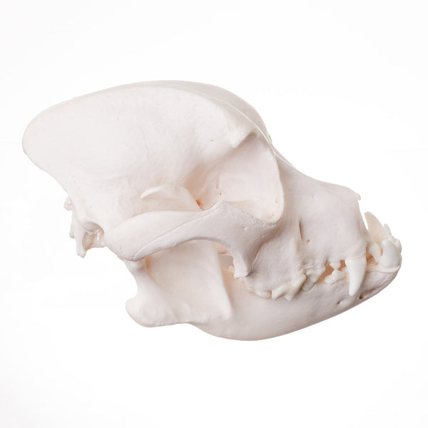 Real Domestic Dog Skull (Boxer)