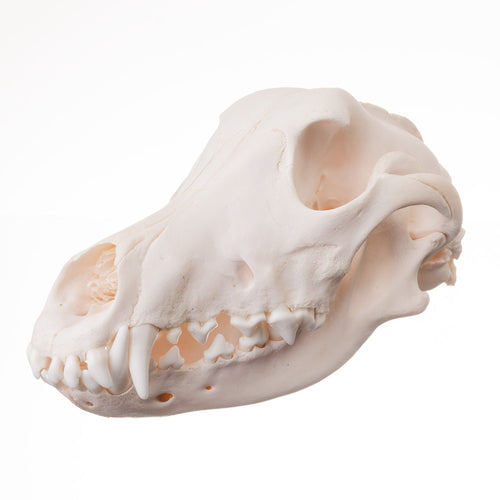 Real Domestic Dog Skull (Weimaraner)