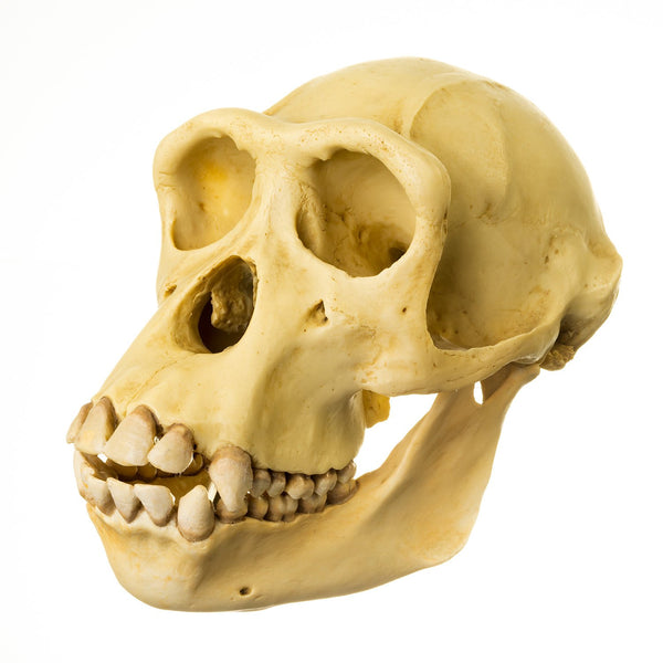 Replica Chimpanzee Skull (Somso Model)