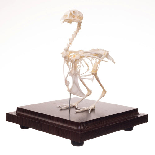 Real Quail Skeleton (Economy)
