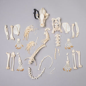 Real Brown Nosed Coati Skeleton