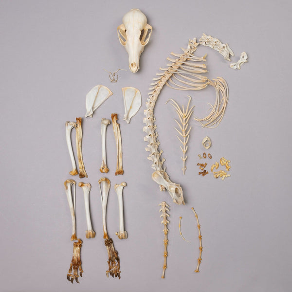 Real Swift Fox Skeleton