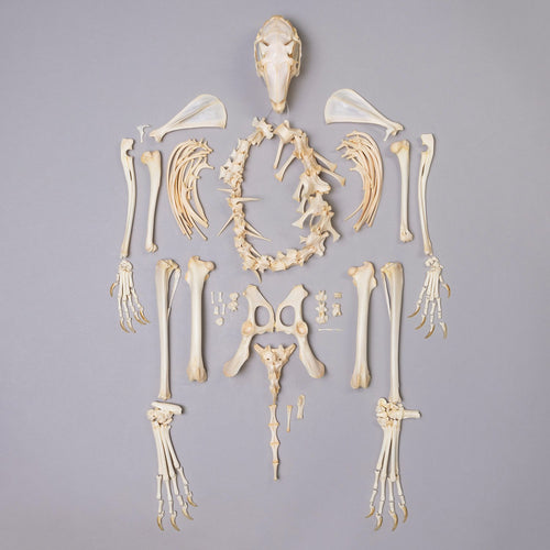 Real Jack Rabbit Skeleton