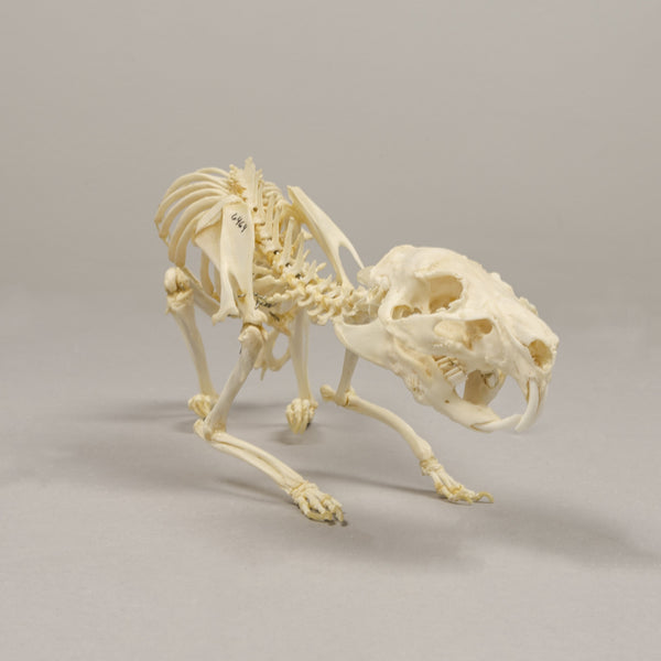 Real Guinea Pig Skeleton - (Articulated)