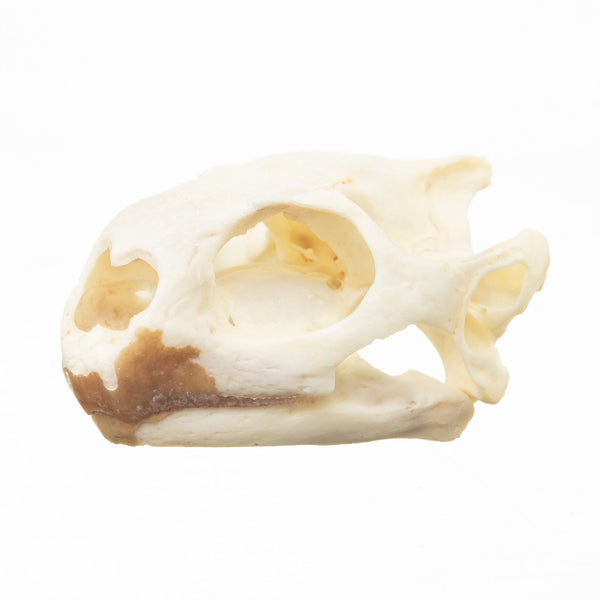 Real Red-footed Tortoise Skull and Shell
