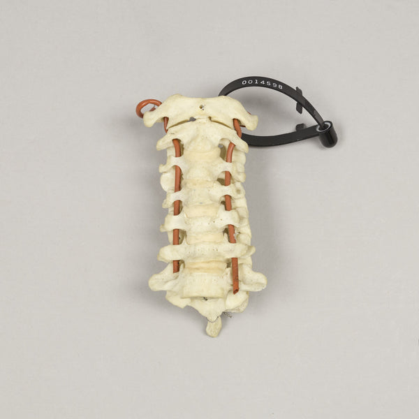 Real Human Cervical Vertebrae - (Set of 7)