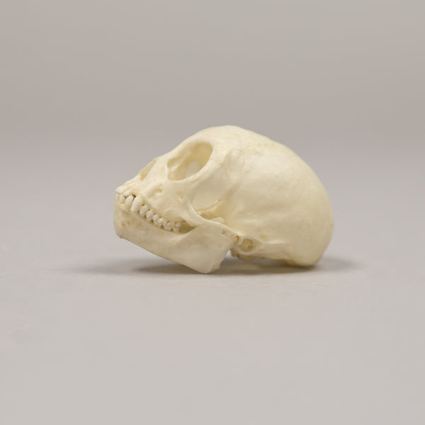 Real Squirrel Monkey Skeleton - (Semi-Articulated)