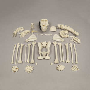 Real Hamadryas Baboon Skeleton - (Disarticulated)