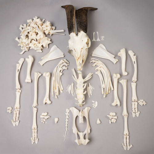 Real Pygmy Goat Skeleton