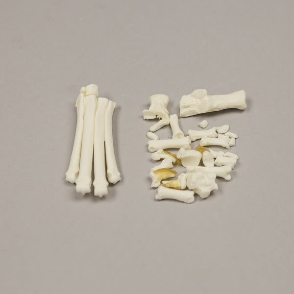 Real Domestic Cat Foot - (Disarticulated)