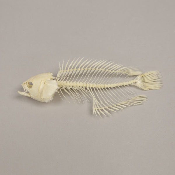 Real Climbing Perch Skeleton - (Articulated)
