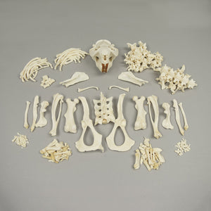 Real Beaver Skeleton - (Disarticulated)