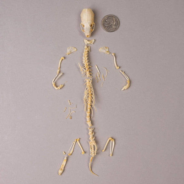 Real Least Weasel Skeleton