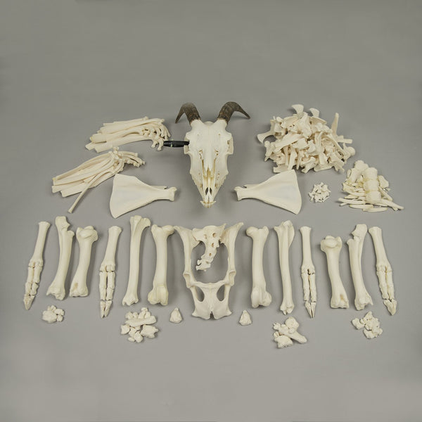 Real Domestic Goat Skeleton - (Disarticulated)