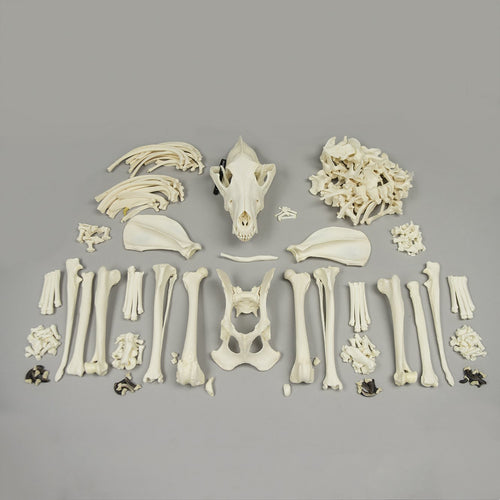 Real Wolf Skeleton - (Disarticulated)