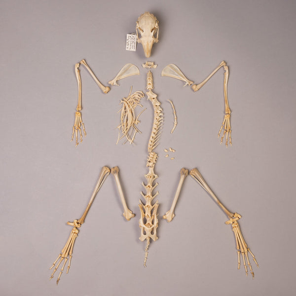 Real Snowshoe Hare Skeleton