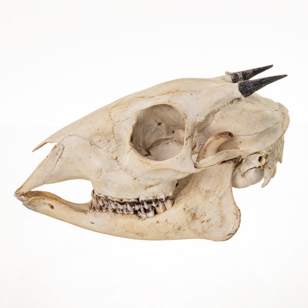 Real Red Forest Duiker Skull