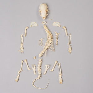 Real Spotted Skunk Skeleton