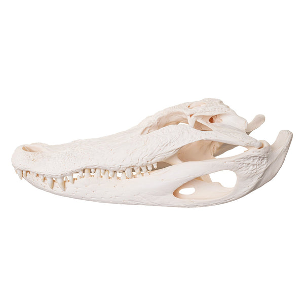 Real Alligator Skull