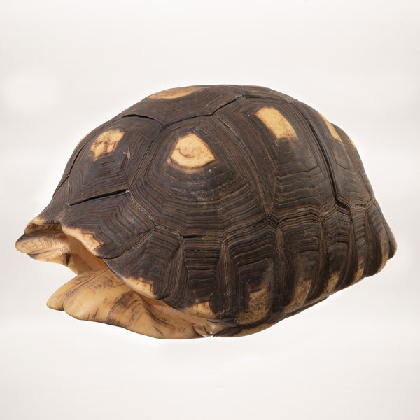 Real Red-footed Tortoise Shell