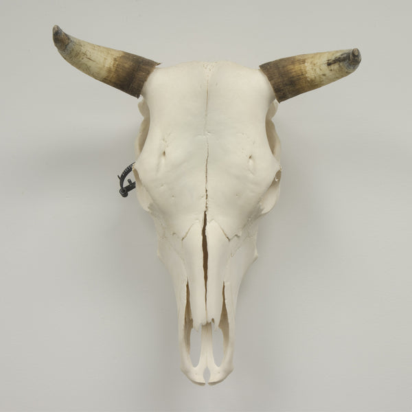 Real Steer/Cow Skull