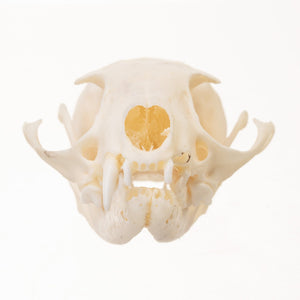Real Ring-tailed Skull