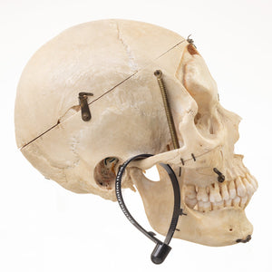Real Human Skull (Dissected)