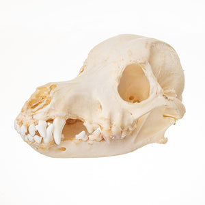 Real Domestic Dog (Long-haired dachshund) Skull