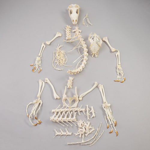 Real Iguana Skeleton