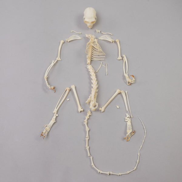 Real Geoffrey's Marmoset Skeleton
