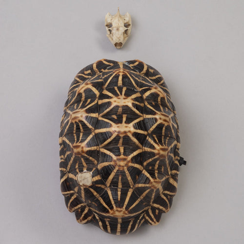 Real Indian Star Tortoise Skull and Shell