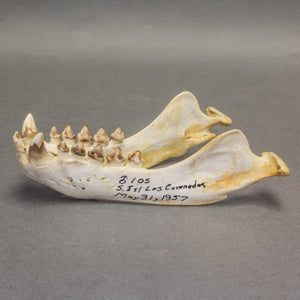 Real California Sea Lion Skull (11879)
