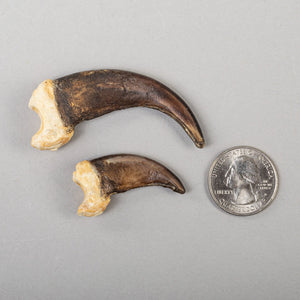 Real Grizzly Bear Claw-Set